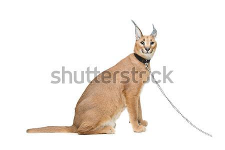 Beautiful shiba inu puppy isolated on white Stock photo © svetography