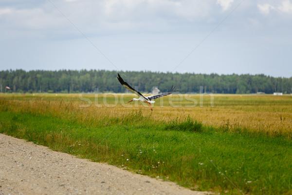 Stork flying on grass field Stock fotó © svetography