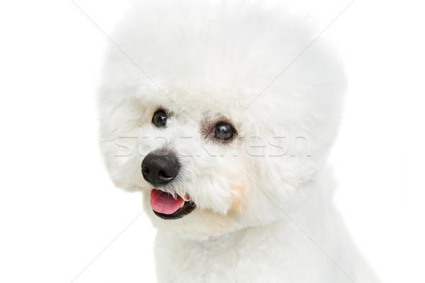 Bella cane isolato bianco copia spazio felice Foto d'archivio © svetography