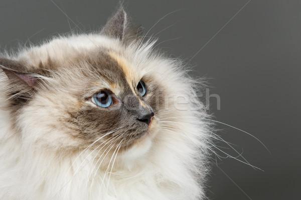 Belo gato rosa vestir longo pele Foto stock © svetography