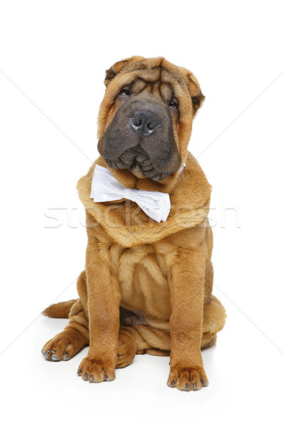 shar pei puppy with white bow tie Stock photo © svetography