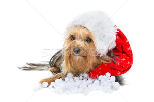 Mooie yorkshire terriër kerstmis hoed hond Stockfoto © svetography