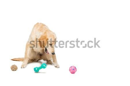 Young beautiul golden retriever dog Stock photo © svetography