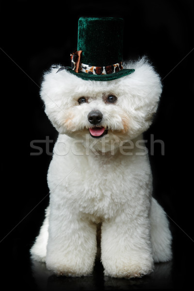 beautiful bichon frisee dog in cute hat Stock photo © svetography