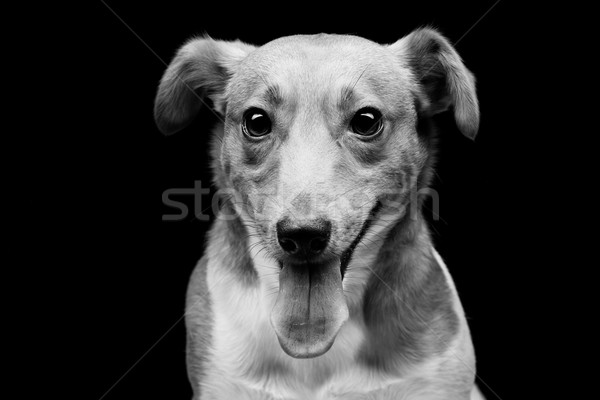 Jack russell terrier Stock photo © svetography