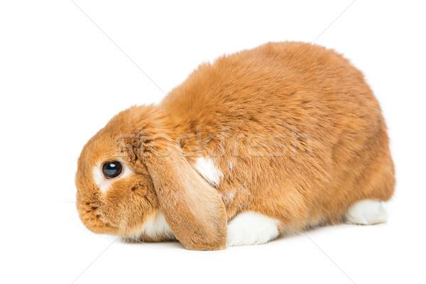 Beautiful domestic rabbit Stock photo © svetography