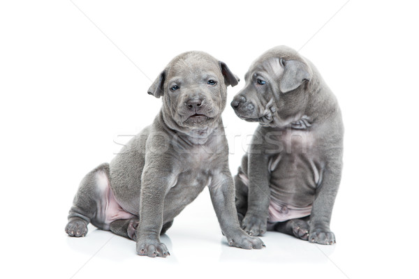 Two thai ridgeback puppies isolated on white Stock photo © svetography
