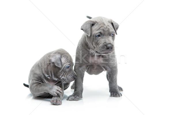 2 タイ 子犬 孤立した 白 1 ストックフォト © svetography