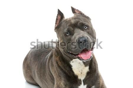 美しい 犬 虎 青 色 ストックフォト © svetography