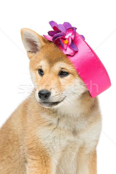 Beautiful shiba inu puppy in pink hat Stock photo © svetography