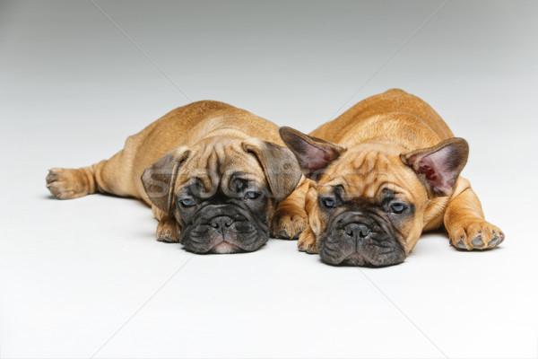 Aranyos francia bulldog kiskutyák gyönyörű kicsi Stock fotó © svetography