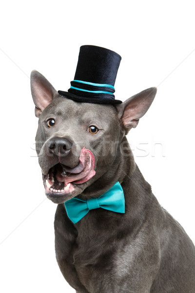 beautiful thai ridgeback dog in high hat and bow Stock photo © svetography