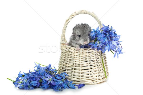 çinçilla sepet çiçekler bebek oturma mavi Stok fotoğraf © svetography