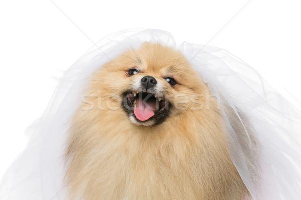 beautiful spitz bride isolated on white Stock photo © svetography