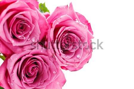 Rosa rosas aislado blanco espacio de la copia Foto stock © svetography