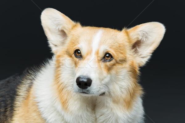 Beautiful welsh corgi dog Stock photo © svetography