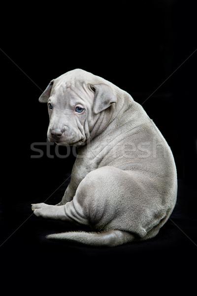 Thai kutyakölyök fekete egy hónap öreg Stock fotó © svetography