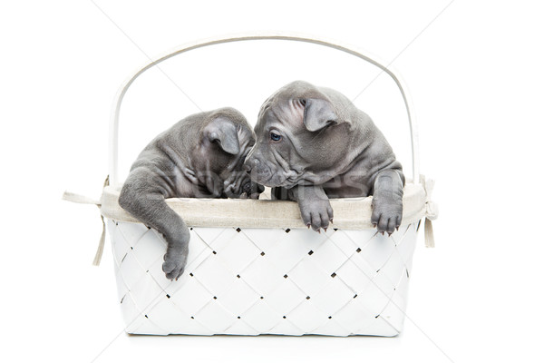 Stock photo: Two thai ridgeback puppies in basket isolated on white