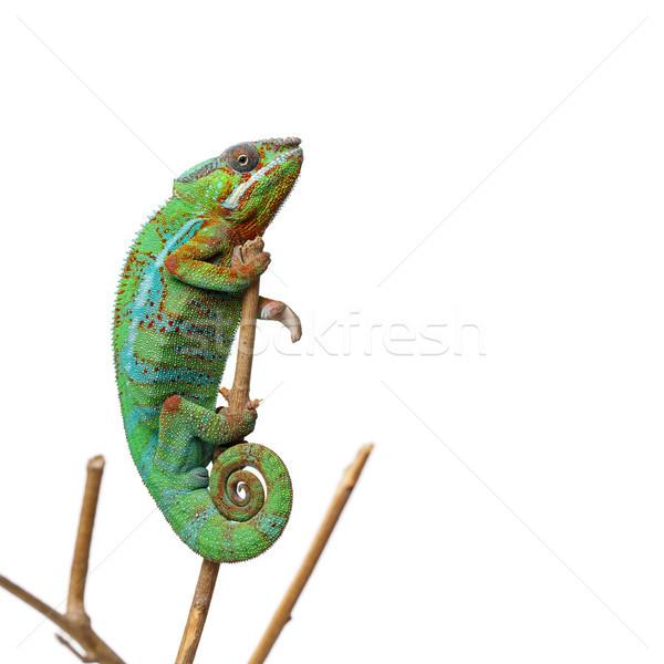Levend kameleon reptiel vergadering tak Stockfoto © svetography