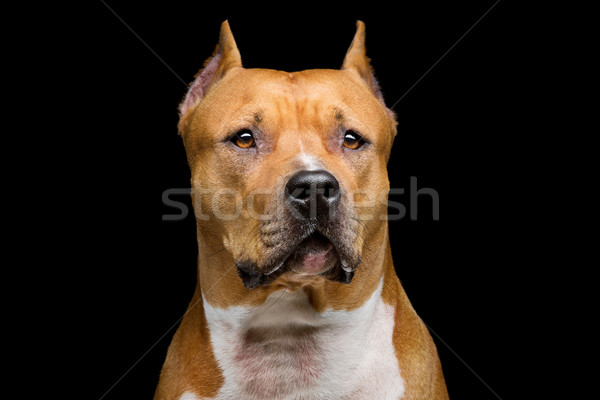 Staffordshire bull terrier Stock photo © svetography