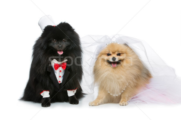 Chien mariage couple isolé blanche belle Photo stock © svetography