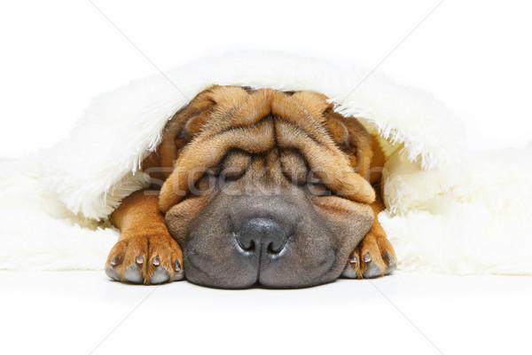 shar pei puppy under plaid Stock photo © svetography