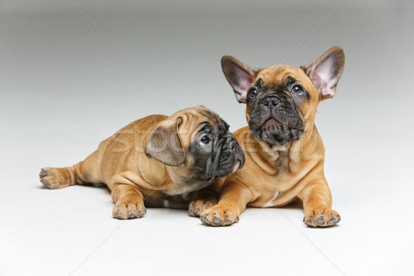 Cute francés bulldog cachorros hermosa pequeño Foto stock © svetography