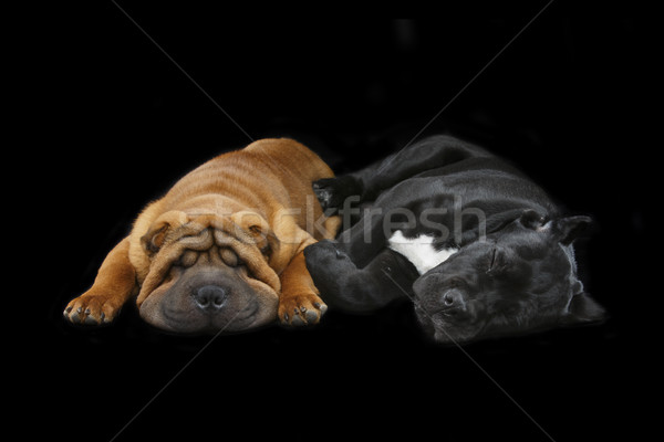 beautiful two puppy dogs sleeping Stock photo © svetography