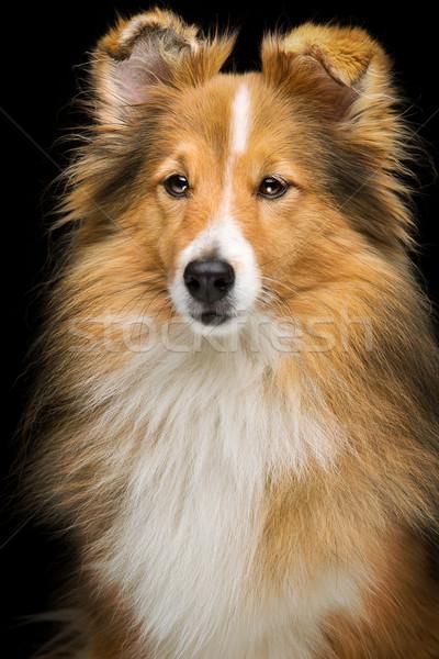 Sheltie dog Stock photo © svetography