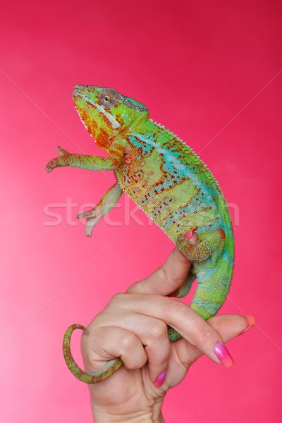 Vivo camaleón reptil sesión mujer mano Foto stock © svetography