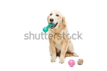 Foto stock: Jovem · golden · retriever · cão · jogar · borracha · cachorro