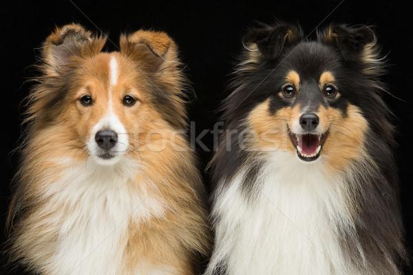 Iki köpekler güzel siyah aile köpek Stok fotoğraf © svetography