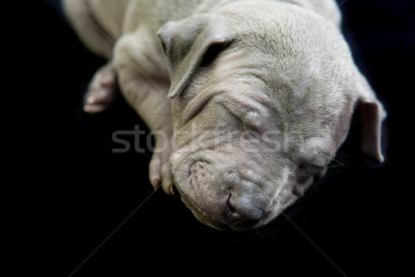 Thai kutyakölyök izolált fehér közelkép portré Stock fotó © svetography