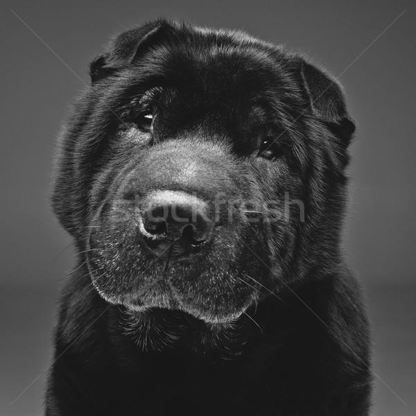 Beautiful black shar pei dog over grey background  Stock photo © svetography