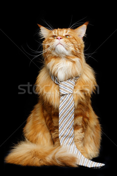 Beautiful maine coon cat with man tie Stock photo © svetography