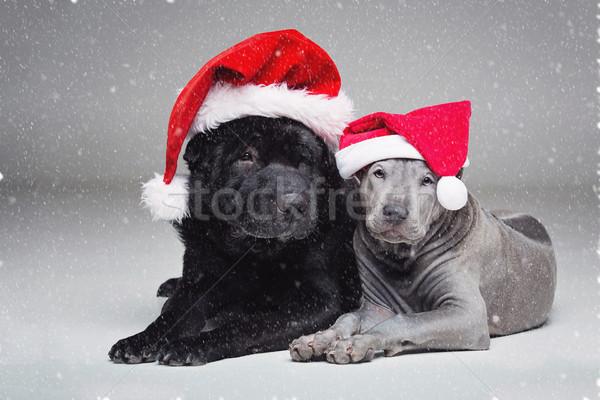 thai ridgeback puppy and shar pei dog Stock photo © svetography