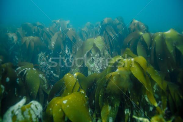 Vízalatti tájkép Norvégia tenger fű természetes fény Stock fotó © svetography
