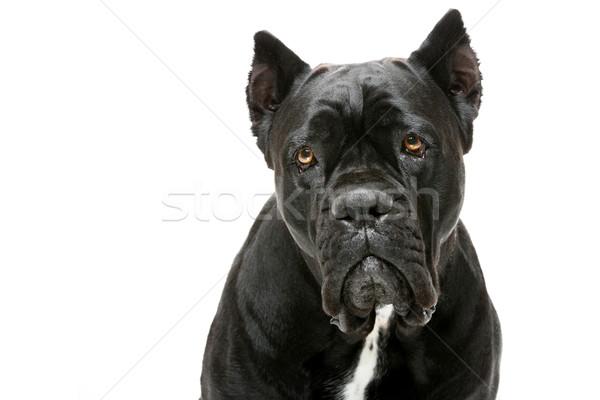 Cão retrato belo feminino Foto stock © svetography