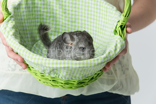 Cute chinchilla in basket Stock photo © svetography