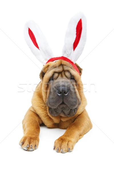 shar pei puppy in xmas bunny ears headband Stock photo © svetography