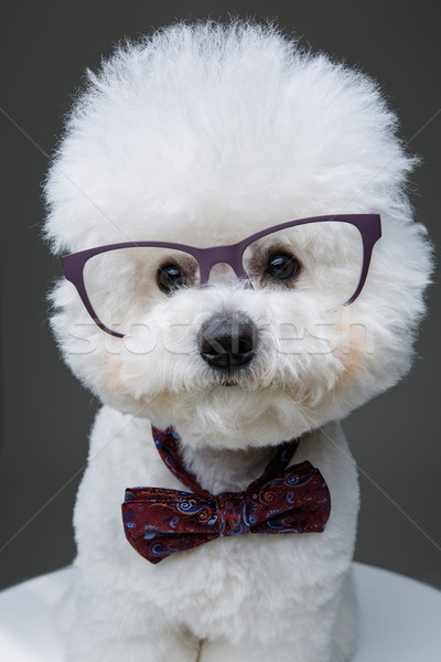 beautiful bichon frisee dog in bowtie and glasses Stock photo © svetography