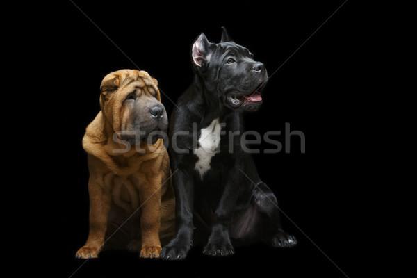 Stok fotoğraf: Güzel · iki · köpek · yavrusu · köpekler · yalıtılmış