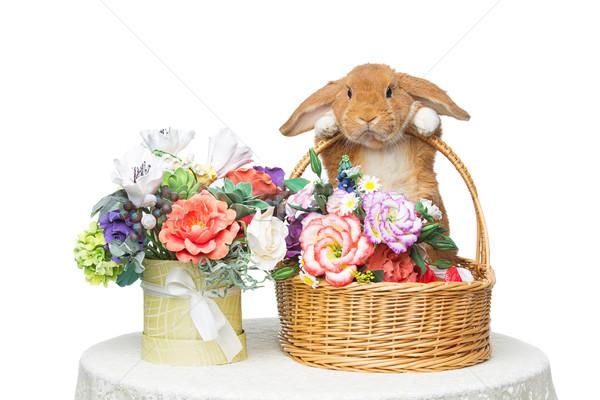 Güzel iç tavşan çok güzel kırmızı Stok fotoğraf © svetography