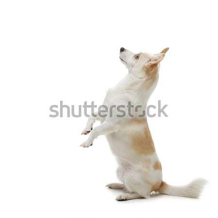 Dog begging food Stock photo © svetography