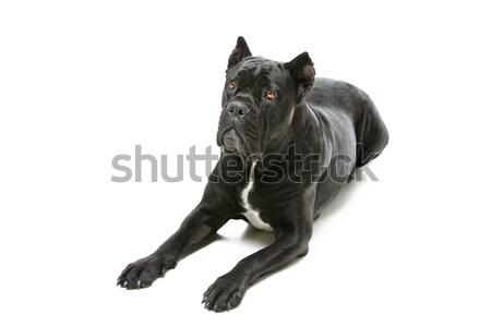 Cão belo preto feminino Foto stock © svetography