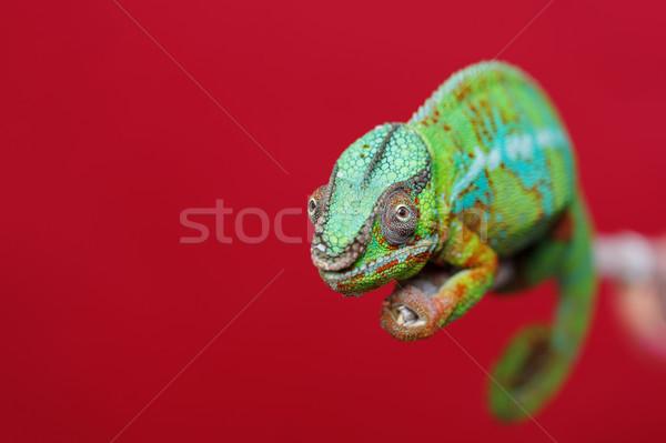 Vivo camaleão réptil sessão ramo Foto stock © svetography