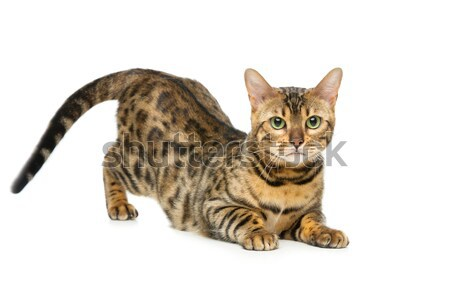 Beautiful bengal cat Stock photo © svetography