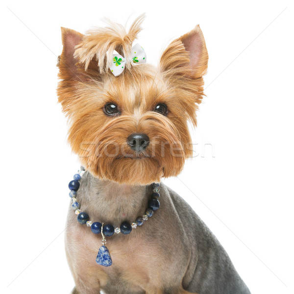 Beautiful yorkshire terrier with necklace Stock photo © svetography