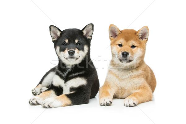 Stock fotó: Gyönyörű · kiskutyák · izolált · fehér · kettő · barna