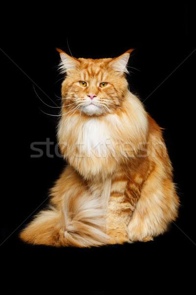 美しい 猫 ビッグ コピースペース 黒 ストックフォト © svetography